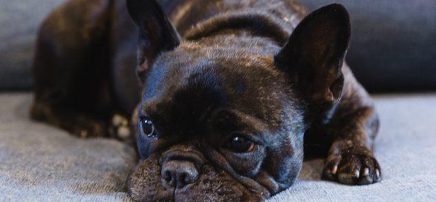 Frankie the Bluethumb office dog